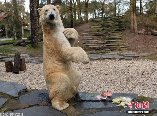 法国拉弗莱什,动物园的动物们收到复活节礼物包裹急忙拆开表情萌萌哒.