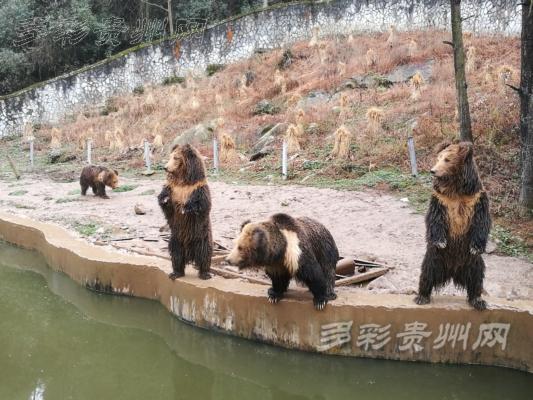 多彩贵州网讯(本网记者 戴金松) 近日,记者从贵州森林野生动物园获悉,12头亚洲象经过长途跋涉,从老挝国家踏入了中国贵州的土地,于2016年12月11日来到了修文县扎佐镇的贵州森林野生动物园检疫隔离场。经过贵州出入境检验检疫局为期一个月的检疫,现检疫合格,意味着这12头大象获得了定居中国的资格。   贵州森林野生动物园位于贵阳市修文县扎佐镇贵州省扎佐林场冷水沟分场内,于2004年的10月18日举行了奠基典礼,2005年3月28日正式开工建设。2006年国庆正式开业。占地面积5000余亩,共有200多种20