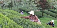 资料图:贵州省余庆县茶产业。瞿宏伦 摄 - 贵州新闻